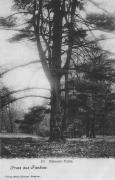 Rübezahl-Fichte im Schlosspark